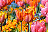 Beautiful pink, yellow and orange tulip in middle of field with colorful spring flowers on blurry background