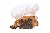 Funny brown French Bulldog dog lying on ground dressed up as cook wearing a chef's hat isolated on white background