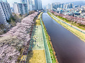 Cherry Blossoms Blooming in Oncheoncheon Citizens Park , Busan, South Korea, Asia