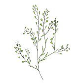 Capsella flower, Shepherd's purse, Capsella bursa-pastoris, the entire plant, hand drawn graphic vector colorful illustration, doodle ink sketch isolated on white, contour style for design cosmetics