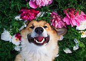 """beautiful portrait of a cute puppy dog """"u200b""""u200bcorgi lies on a natural green meadow surrounded by lush grass and flowers of pink fragrant peony and in white roses and smiling happily"""