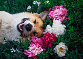 puppy dog lies on a natural green meadow surrounded by lush grass and flowers of pink fragrant peonies happily uly beats
