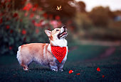 puppy dog red Corgi fun walking on a green flowering meadow and catches a beautiful butterfly Machaon, raising his head high