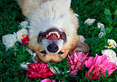 cute puppy dog lies on a natural green meadow surrounded by lush grass and flowers of pink fragrant peonies happily uly beats