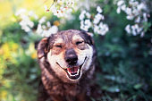 portrait of a cute funny dog sitting on a background of flowering shrubs in a spring clear may garden and smiling with his eyes closed