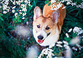 portrait of cute puppy red dog Corgi funny stuck out pink tongue and looks up at the natural background of cherry blossoms in spring Sunny may garden