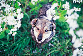 portrait of cute funny dog sitting on background of cherry blossoms in spring clear may garden and will look up