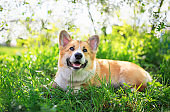 portrait of cute funny red dog Corgi puppy sitting on background of flowering shrubs in spring clear may garden and smiling