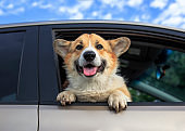 puppy dog red Corgi pretty sticks out his face with pink tongue and paws from the car window while traveling through the countryside on a Sunny summer day