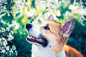 portrait of cute funny red dog puppy Corgi sitting on natural background of flowering shrubs in spring evening may garden and looking up