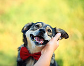 hand rubs behind the ear cute brown dog in the elegant red butterfly smiling pretty