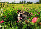 charming cute pet brown puppy with tongue hanging out from warmth and pleasure on a bright summer green sunny meadow in a circle of pink flowers clover