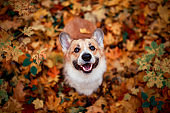 cute puppy red dog Corgi stands in the autumn Park on the background of colorful bright fallen maple leaves and faithfully look up smiling