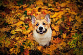 portrait of a funny cute puppy red dog Corgi walking in the autumn Park against the background of colorful bright fallen maple leaves and faithfully look up smiling