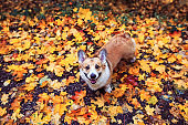 funny cute puppy red dog Corgi walking in the autumn Park against the background of colorful bright fallen maple leaves and faithfully look up smiling