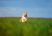 funny cheerful pet red dog puppy Corgi runs through the green Sunny clear meadow in the village in the spring