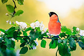 spring natural background with little cute red bird bullfinch sitting in may garden on a branch of flowering Apple tree with white fragrant buds
