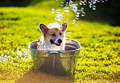 funny dog puppy Corgi washes in a metal bath and cools outside in summer on a Sunny hot day in shiny foam bubbles
