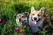 two charming cute dogs with tongues hanging out sit on a bright summer sunny meadow with pink flowers clover