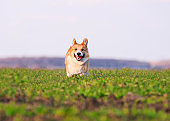 beautiful red puppy dog Corgi running fast on green grass on spring meadow with a green young grass funny opening your mouth