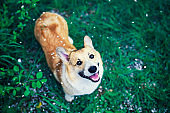 portrait of cute puppy red dog Corgi standing on green grass in spring garden under falling cherry petals