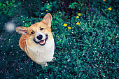 top view of cute red dog Corgi puppy lying in green grass with flowers in spring garden under falling cherry petals