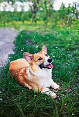 portrait of cute puppy red dog Corgi lying in green grass in spring garden under falling cherry petals
