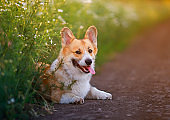 red Corgi dog sits in a field by the road in a village surrounded by white chamomile flowers on a Sunny clear summer day with his tongue sticking out