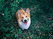 portrait of cute puppy red dog Corgi standing in the green grass with flowers in the spring garden under the falling cherry petals closing his eyes with pleasure