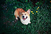 portrait of cute puppy red dog Corgi standing in the green grass with flowers in the spring garden under the falling cherry petals closing his eyes with pleasure and opening his mouth