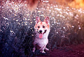 red Corgi dog sits in a meadow by the road in a village surrounded by white chamomile flowers on a Sunny clear summer evening
