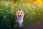 puppy a red Corgi dog sits in a field by the road in a village surrounded by white chamomile flowers on a Sunny clear summer day with his tongue sticking out