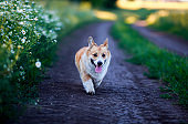 red Corgi dog walks along the road in the village surrounded by white Daisy flowers on a Sunny clear summer day
