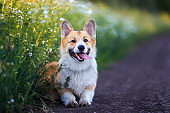 red Corgi dog sits in a meadow by the road in a village surrounded by white chamomile flowers on a Sunny clear summer evening sticking out his tongue