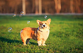 portrait of funny ginger Corgi puppy standing on green young grass on spring Sunny meadow and catching shiny soap bubbles