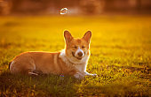 cute little funny red dog Corgi puppy lying on the green lawn on a Sunny warm spring day