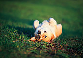 funny red puppy Corgi lies on green young the grass on spring sunlight meadow to top abdomen