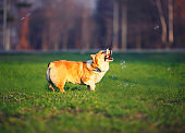 portrait of funny red dog puppy Corgi walking on green lawn with young grass and catching shiny soap bubbles on Sunny warm spring day