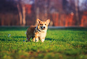 portrait of funny red dog puppy Corgi walking on green young grass on spring Sunny meadow and catching shiny soap bubbles