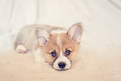 little Corgi dog puppy with big ears lies on the bed on a white blanket and looks sadly ahead