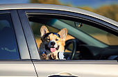 Corgi dog puppy stuck his snout in sunglasses and headphones out the car window and is quite smiling during the road to travel in summer vacation