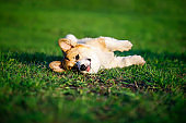 funny red puppy Corgi lies on green young the grass on spring Sunny meadow in Park and quite dormant