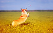 funny little Corgi puppy runs on a green meadow and jumps after a flying butterfly on a summer glade in the grass