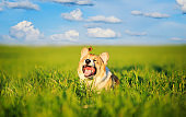 small butterfly sat on the head of a funny little red dog puppy Corgi on a green meadow in the grass on a Sunny spring day