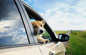 cute puppy dog red Corgi stuck his head out of the car in the summer vacation trips