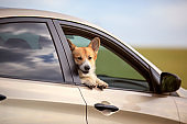 puppy dog red Corgi stuck his happy muzzle and tongue out of car during a trip on summer hot roads in the village