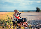 cute puppy red dog Corgi sits on two old suitcases on a rural road waiting for transport while traveling on a summer day