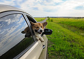 dog red Corgi pretty sticks out his snout with pink tongue and paws from the car window while riding on a country road on a warm Sunny day