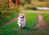 funny puppy dog red Corgi fun walking on a green flowering meadow and catches a beautiful butterfly Machaon