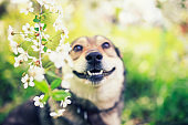 portrait of a cute puppy sitting in a spring may garden among the branches of a cherry blossom and smiling with bared teeth